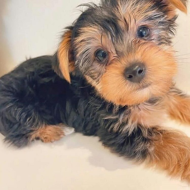 yorkie puppies for sale california