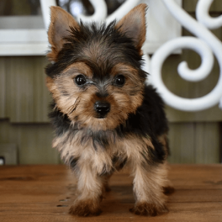 yorkie puppies for sale in alabama