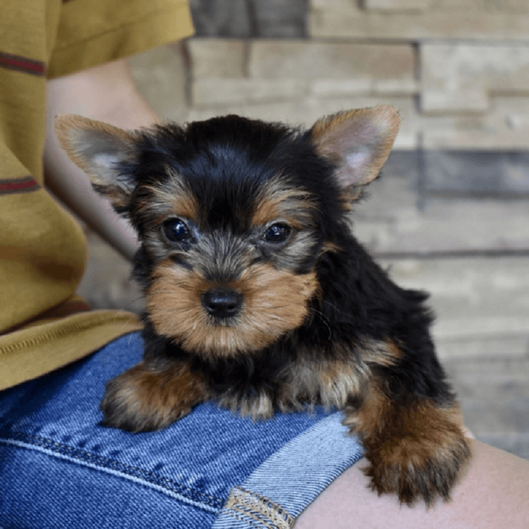 yorkie puppies for sale near me craigslist