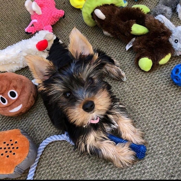 yorkie puppies for sale texas