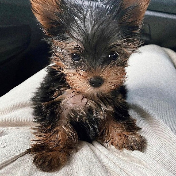 yorkie puppy for sale florida