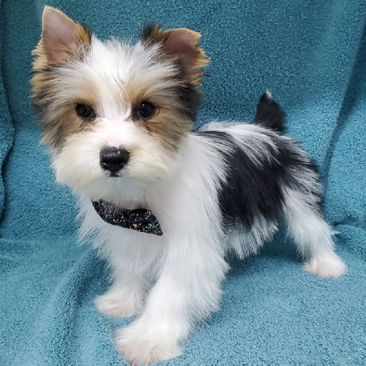 yorkie puppy for sale near me