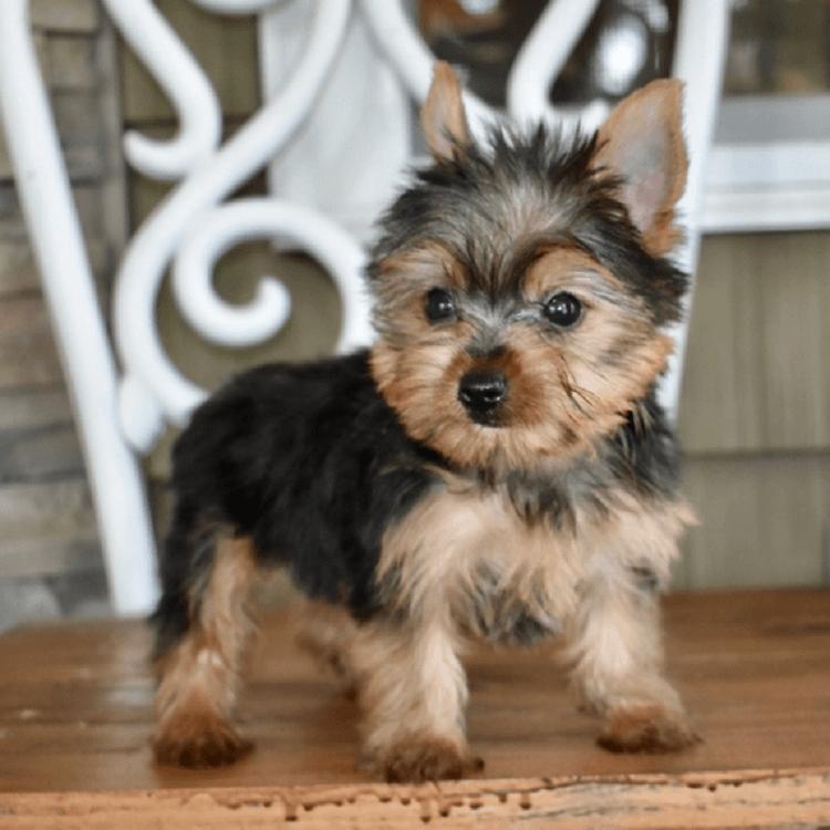 yorkie puppy for sale ohio
