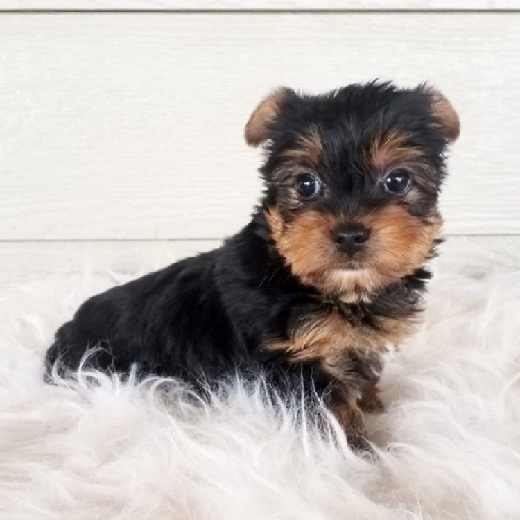 yorkie teacup puppies for sale
