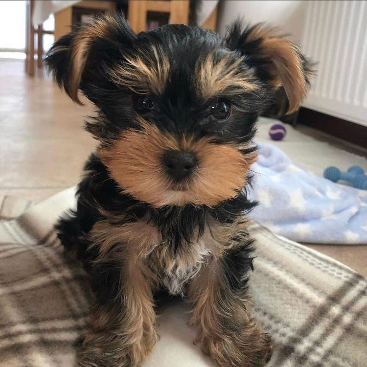 yorkie terrier for sale near me