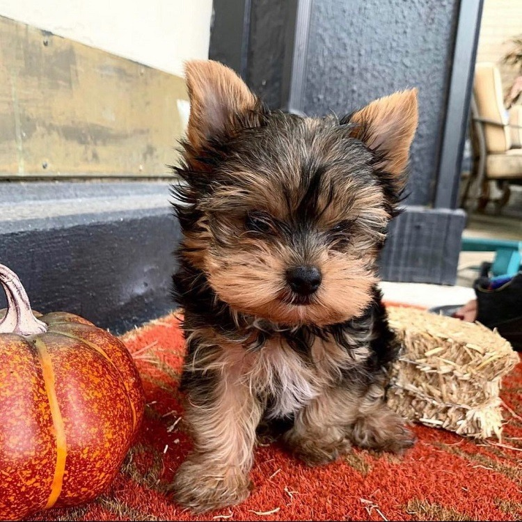 yorkie terrier puppy for sale near me