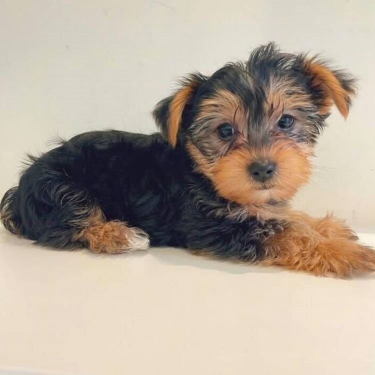 yorkshire puppies for sale in michigan