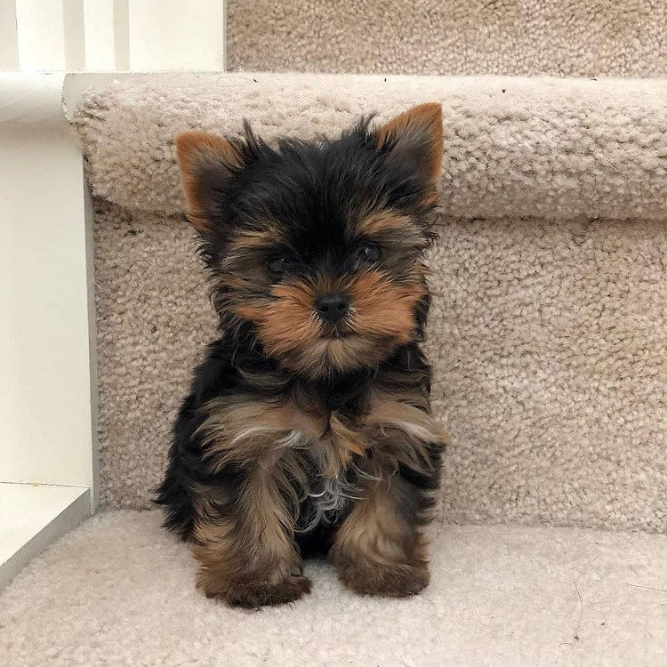 yorkshire teacup puppy for sale
