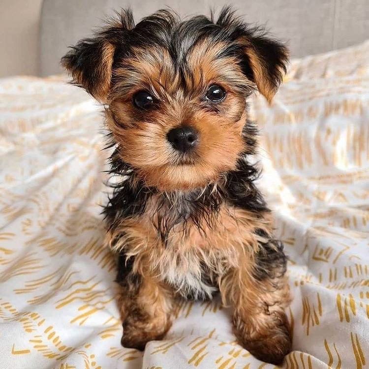 tea cup yorkie puppy for sale