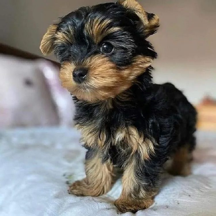yorkie puppy for sale in pa