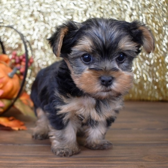 Yorkies-puppies-for-sale.
